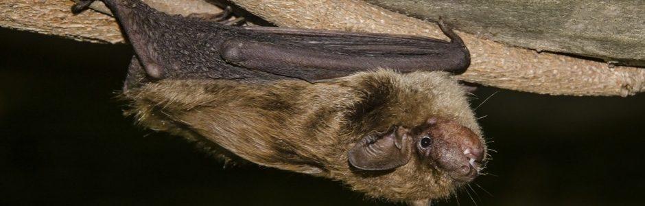 image of a brown bat