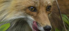 What does the fox say? And do?
