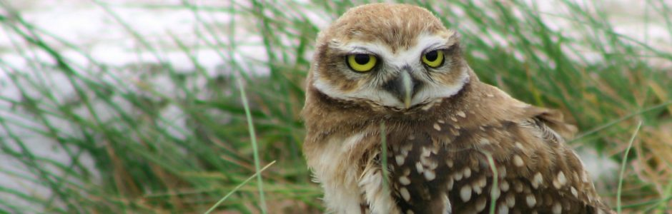 Image of an Burrowing Owl
