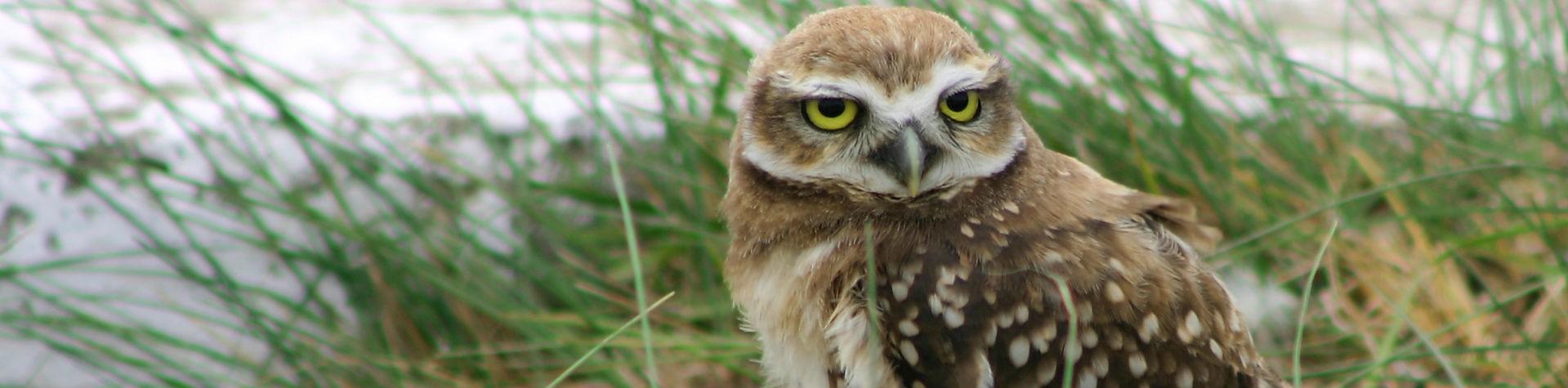 Burrowing_owl_shutterstock_9020941-1919x475