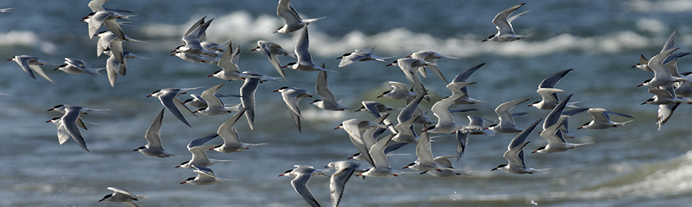 Image of Common Terns Flying