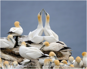 Photo of Northern Gannets by Matt Shetzer