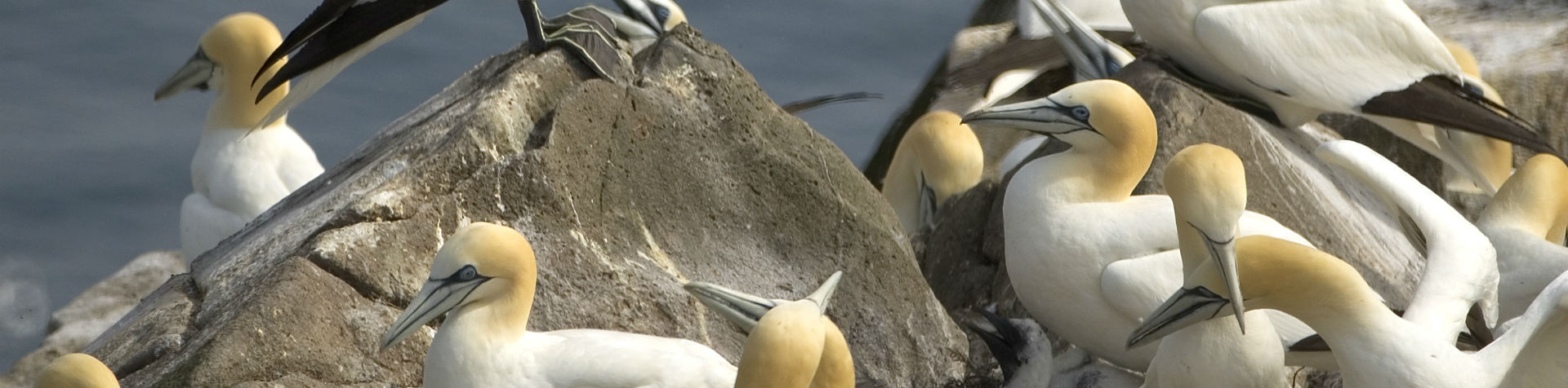 The Northern Gannet – majestic in flight and raucous on land