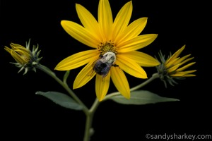bee and flower (1 of 1) Sandy Sharkey