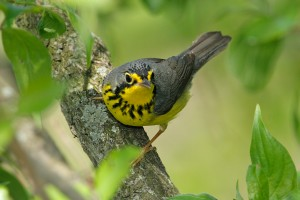 image of a warbler in a tree