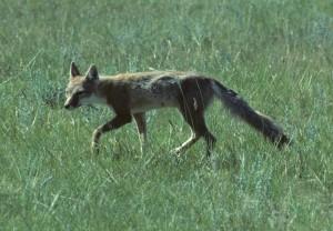 Swift Fox by Cliff Wallis