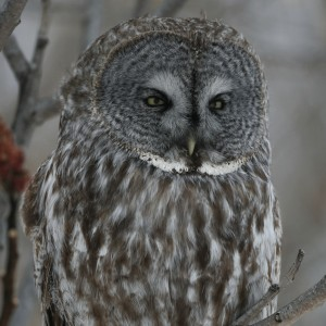 Great Grey Owl - sqaure