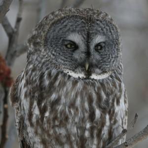 Great Grey Owl - sqaure