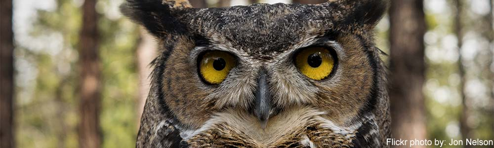 Image of a Great Horned Owl