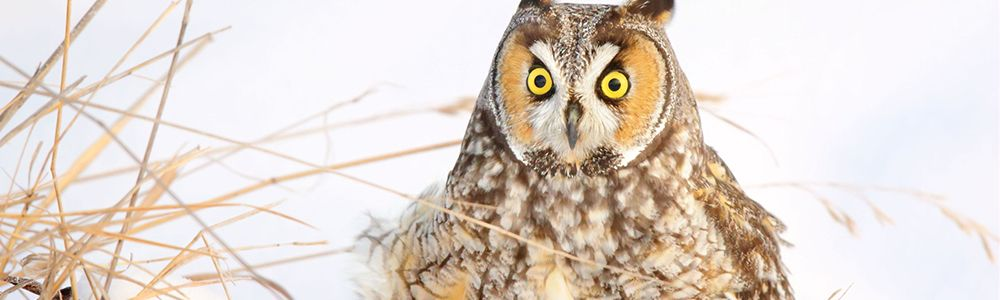 Image of a Long-eared Owl
