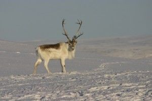 Peary Caribou standing on the frozen tundra; barren ground caribou; Arctic