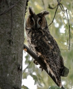 Photo of a Long eared Owl