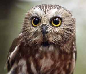 Image of a Northern Saw Whet Owl