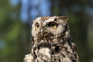 Image of a Western Screech Owl