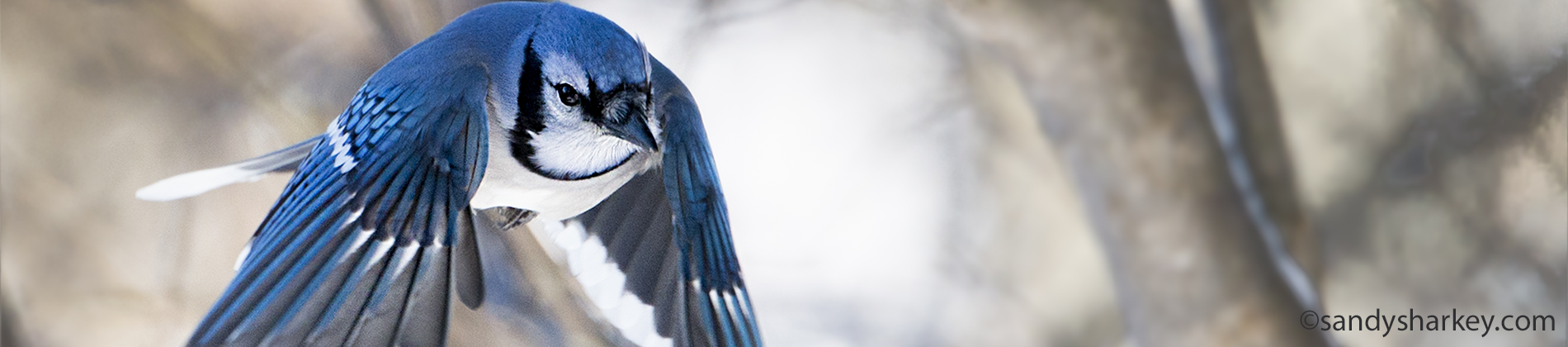 blue jay hi res  (1 of 1)