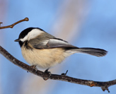 chickadee-square