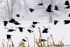 Photo of crows in a snowstorm
