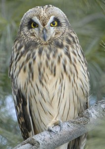 Image of a Short Eared Owl