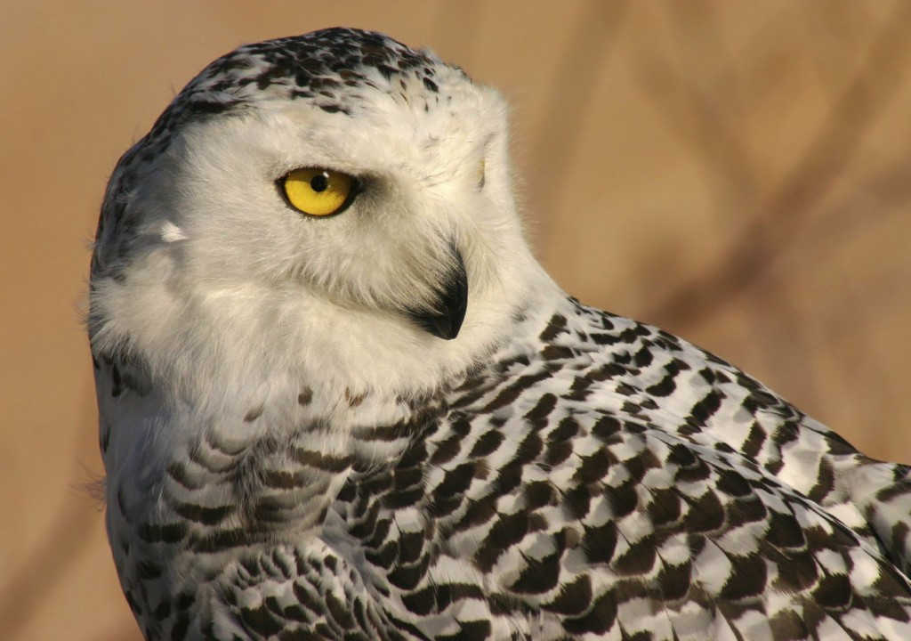 Image of a Snowy Owl