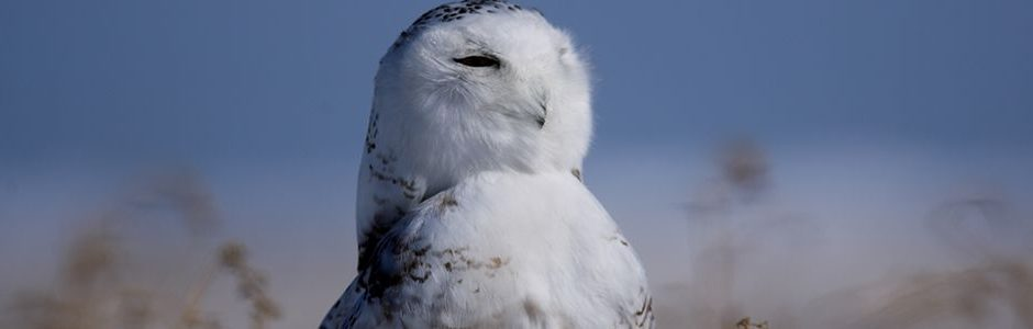 Nature Canada The Snowy Owl To Represent Canada