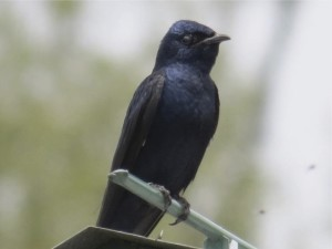 Image of an adult male purple martin