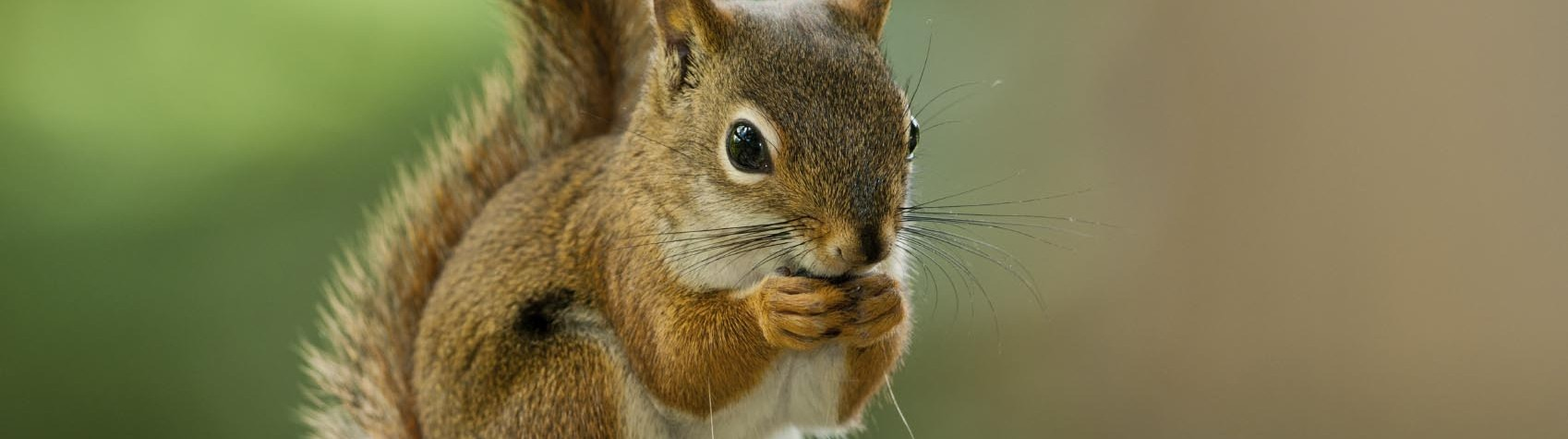 Image of a American Red Squirrel