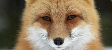 The Red Fox: Quick, quiet and resourceful