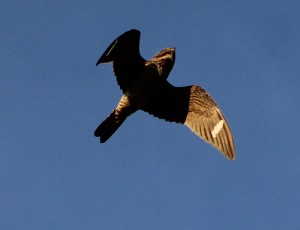 A Common Nighthawk in flight by Alex MacDonald