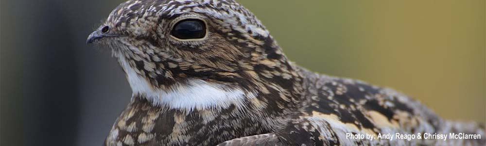 Image of a Common Nighthawk