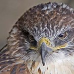 Image of a Ferruginous Hawk