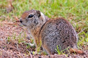 Image of a Richardson's Ground Squirrel