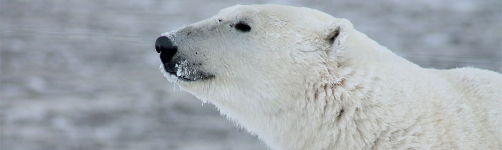 Image of a Polar Bear
