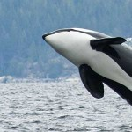 Image of an Orca