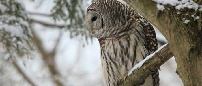 Image of a Barred Owl in a branch