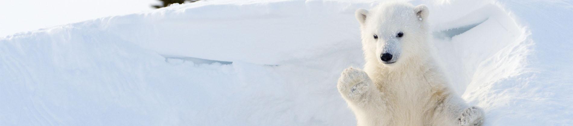 Polar-Bear-Web-Slider
