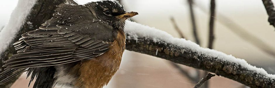 Image of a Robin in snow