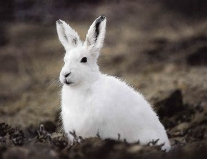 Image of an Arctic Hare