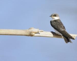 Image of Barn Swallow
