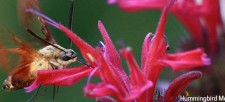 It's Not a Baby Hummingbird – But What is It?