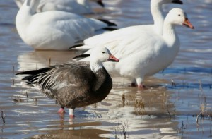 Image of a Snow Goose