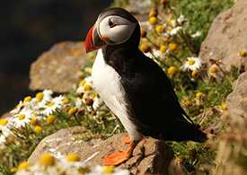 Image of an Atlantic Puffin