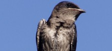 Purple Martins Reach Ontario!