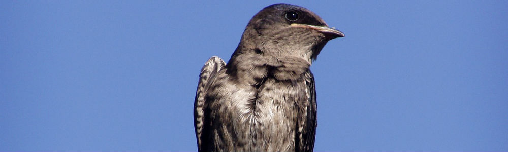 Image of a Purple Martin