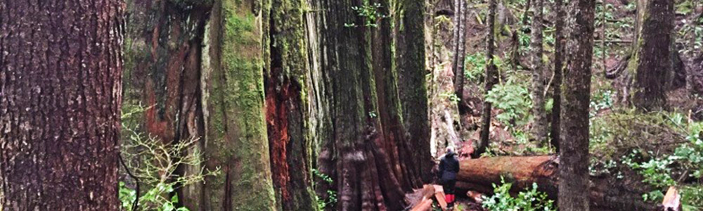 Image of large trees on Vancouver Island