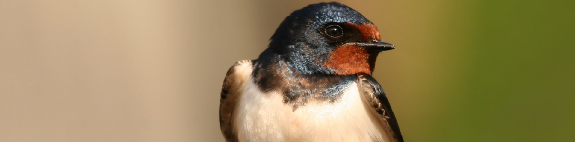 Barn-Swallow-Petition-Web-1920x475