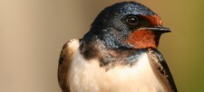 Our voices were heard! Barn and Bank Swallows are going to be protected by government