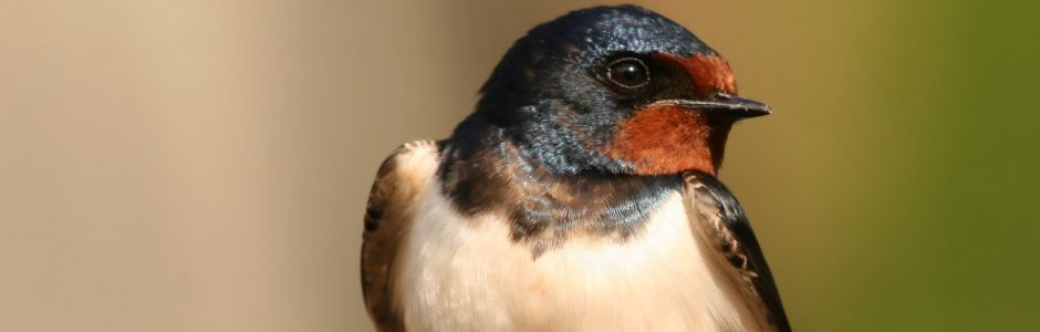 Image of a Barn Swallow