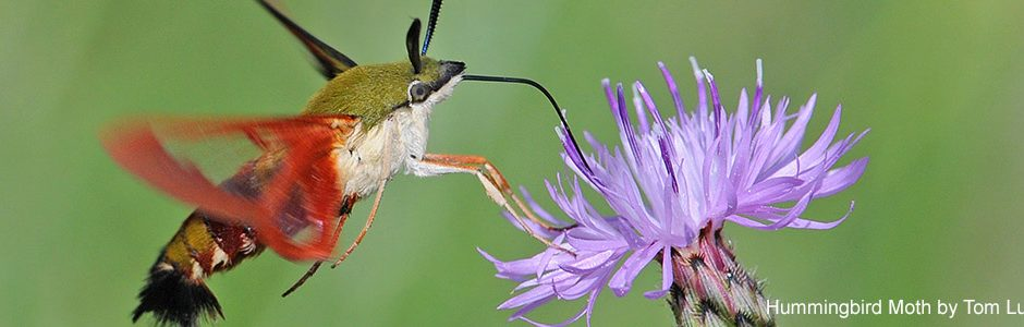 Image of a Hummingbird Moth
