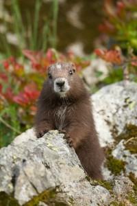 Image of a Vancouver Island Marmot