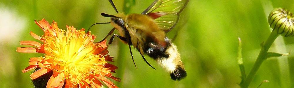 Image of a Hummingbird Moth